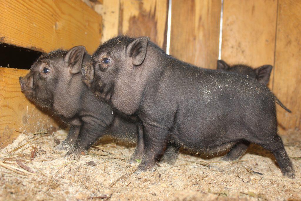 сколько весит вьетнамская свинья в 6 месяцев