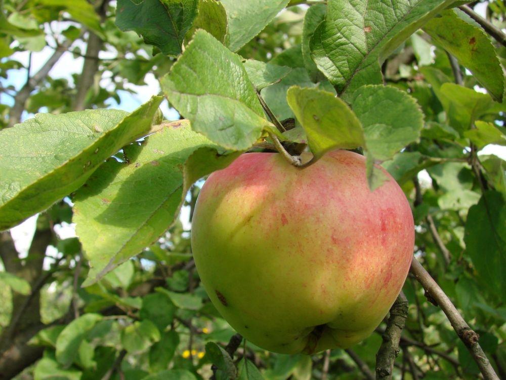 антоновка сорт яблок