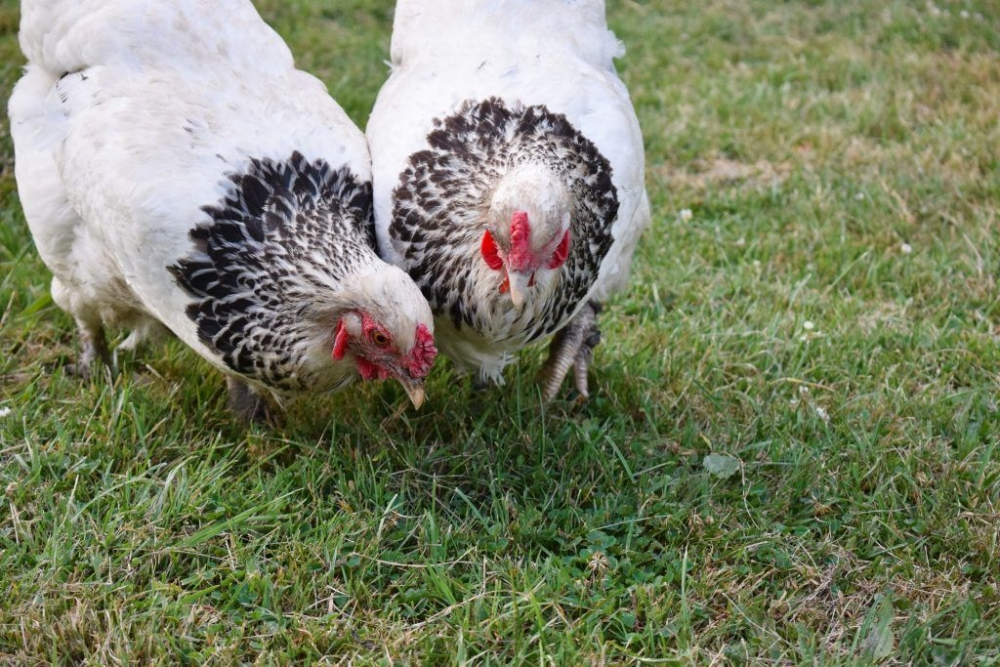 Брама светлая: описание породы кур, характеристика, фото