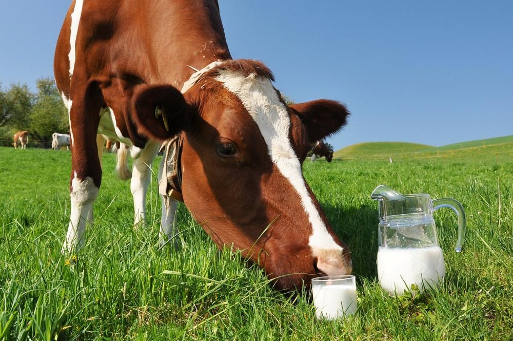 Корова резко сбавила молоко: причины, что делать