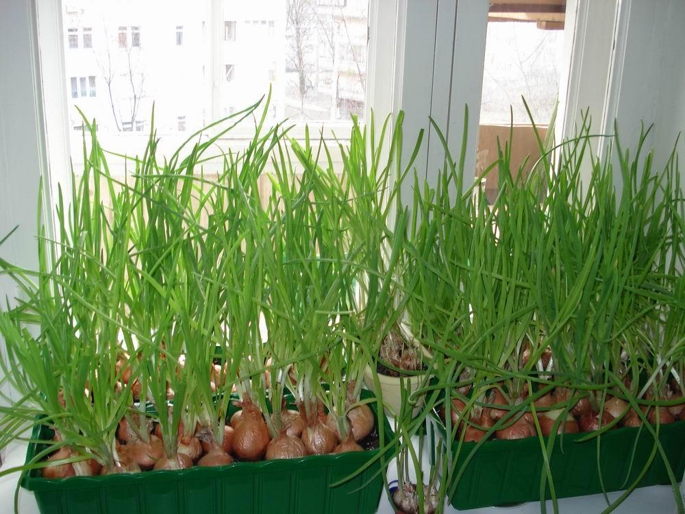 выращивание салата на гидропонике в домашних условиях