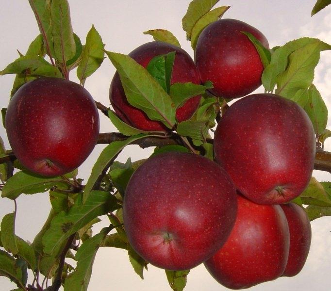 глостер сорт яблок