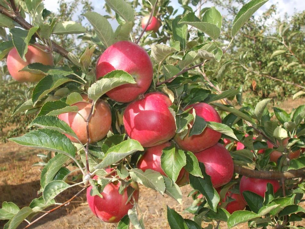 глостер яблоня описание