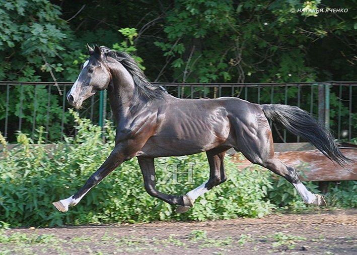 Лошадиный аллюр — что это, обзор видов