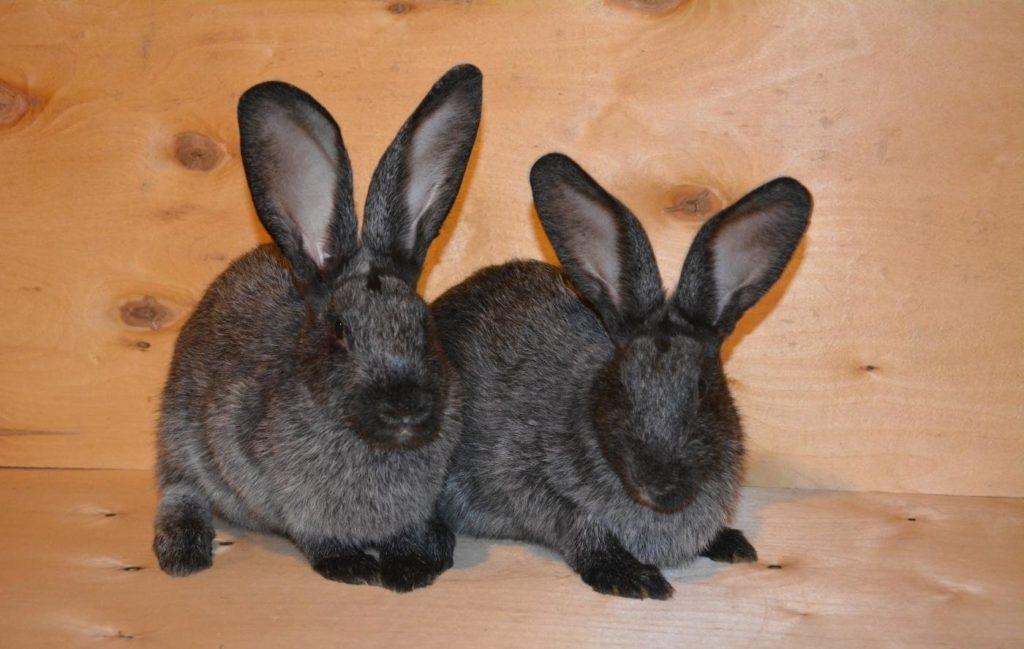 отличить крола от крольчихи