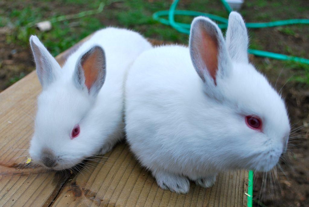 кролик выглядит