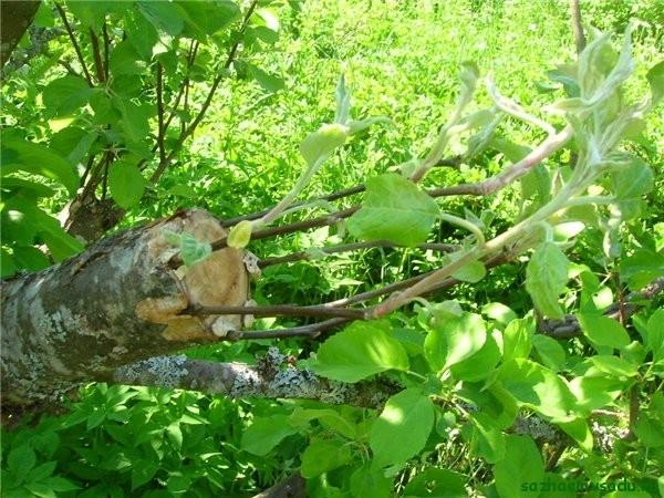 привить яблоню весной на старое дерево