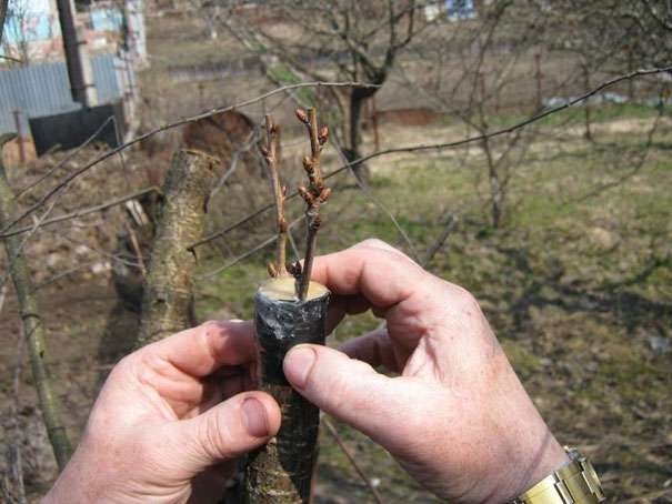 правильно привить яблоню весной