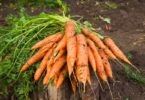 морковь в открытом грунте