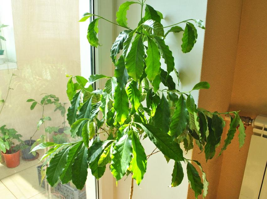 кофейное дерево уход в домашних условиях болезни