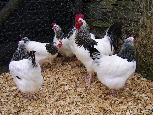 Мясо-яичные породы кур   Райские птицы   Pinterest   Hens