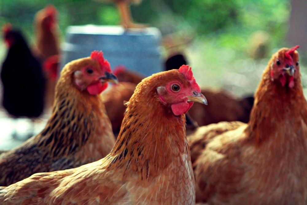 Почему куры клюют яйца? Как решить проблему? Видео.   Домашняя ферма