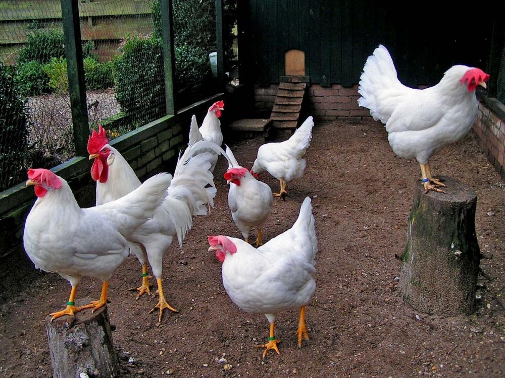 Яичные породы кур — Википедия