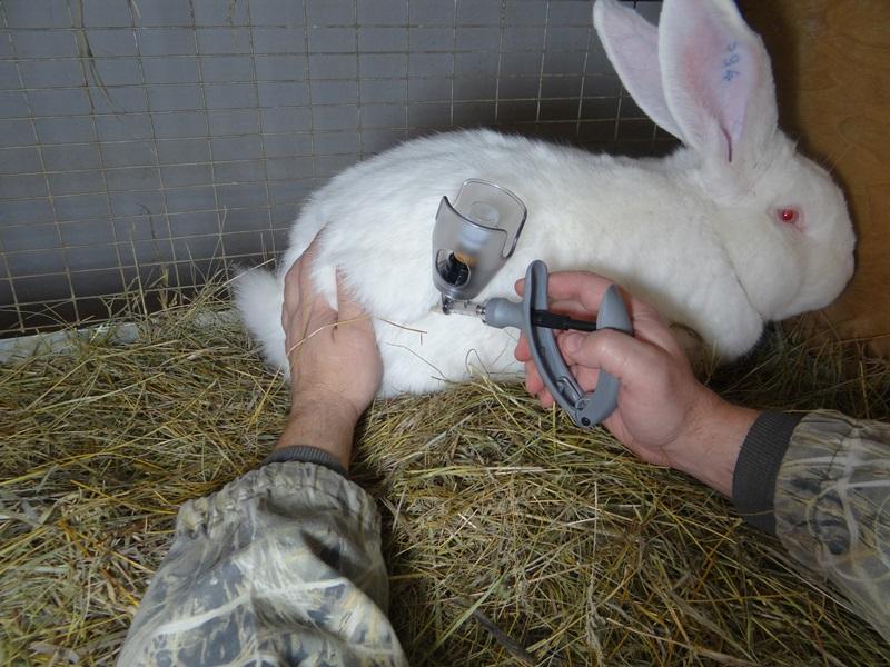 Кокцидиоз у кроликов: симптомы и лечение