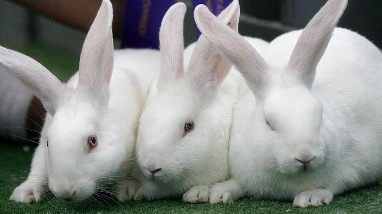 Кролики: физиологические особенности, окрас, продолжительность жизни ...