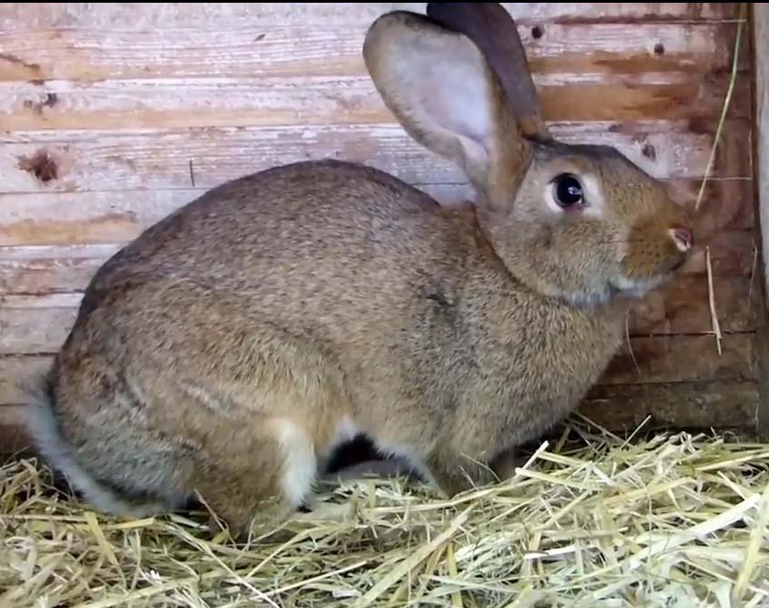 Миксоматоз у кроликов: лечение в домашних условиях