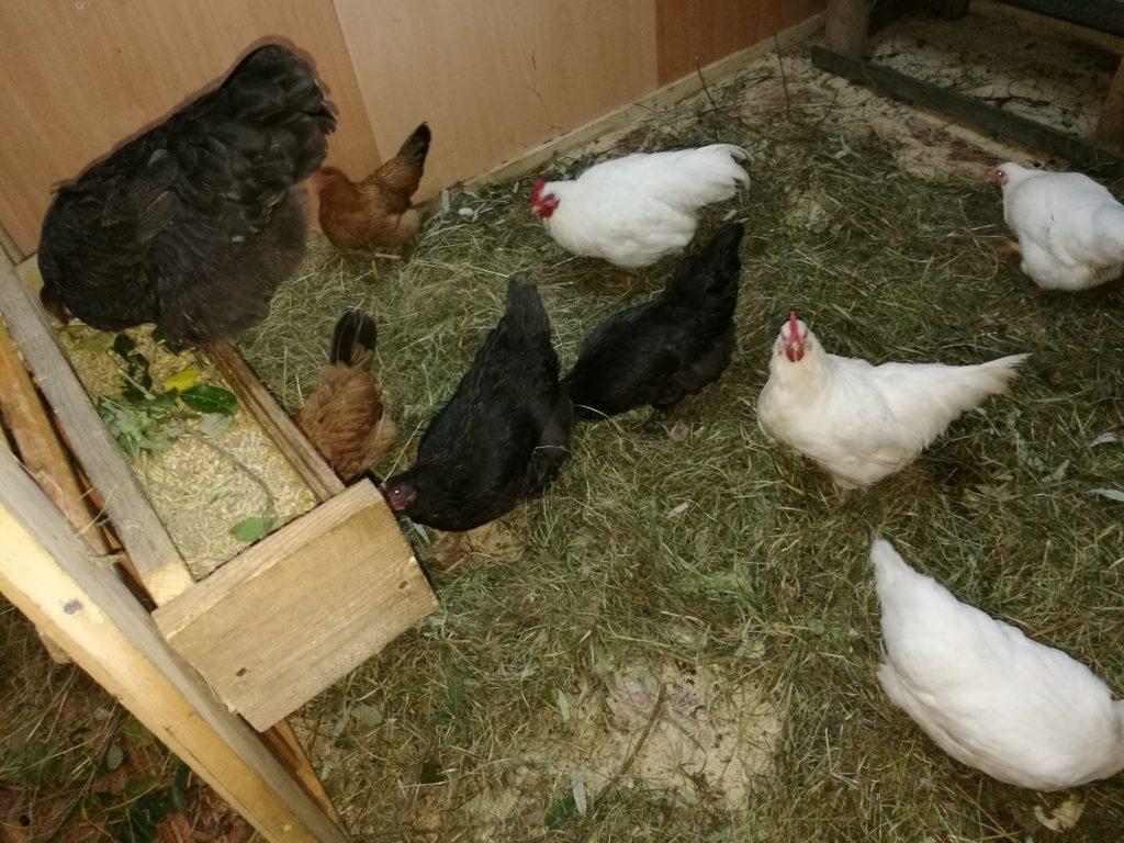 маран черно медный порода кур