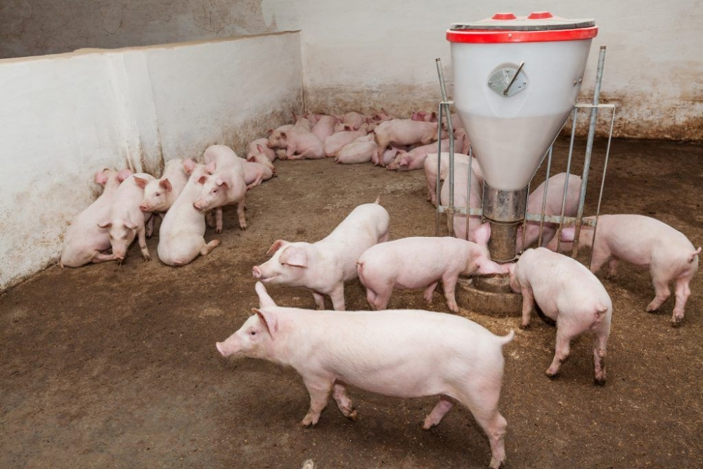 Порода свиней Ландрас: характеристики, содержание, фото