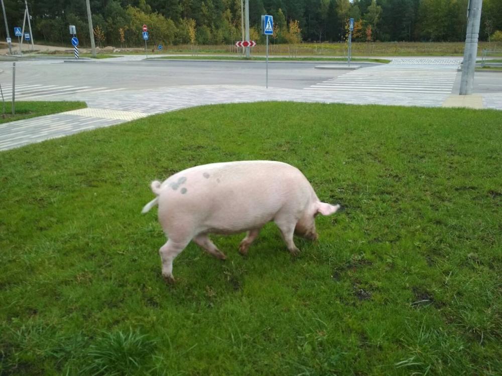 В Минске в Уручье гуляет голодная свинка (фото)