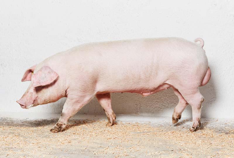 Породы свиней: ЛАНДРАС ПОРОДА СВИНЕЙ - торговая площадка АгроРубо