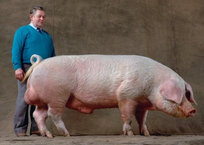 Порода свиней Ландрас: характеристики и описание