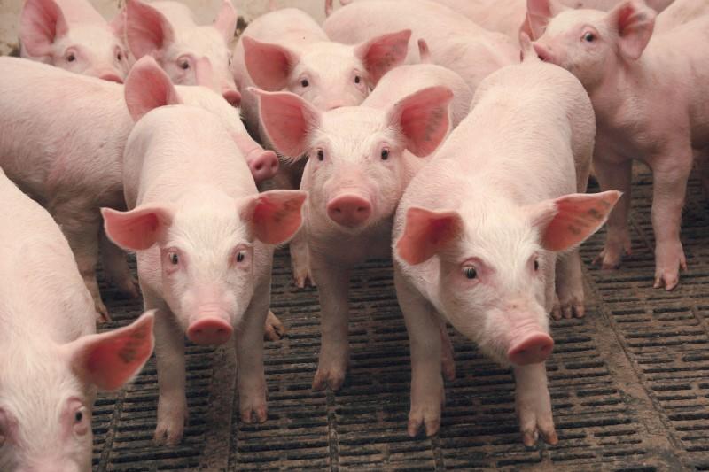 порода свиней ландрас описание