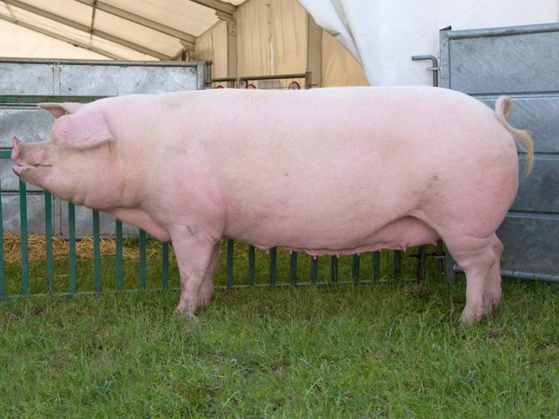 Описание свиней породы Ландрас • особенности и характеристики