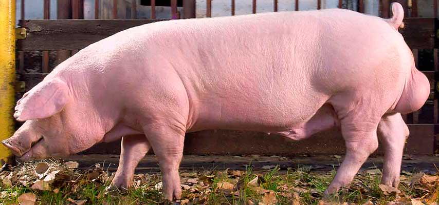 Порода свиней Ландрас | СтройСад