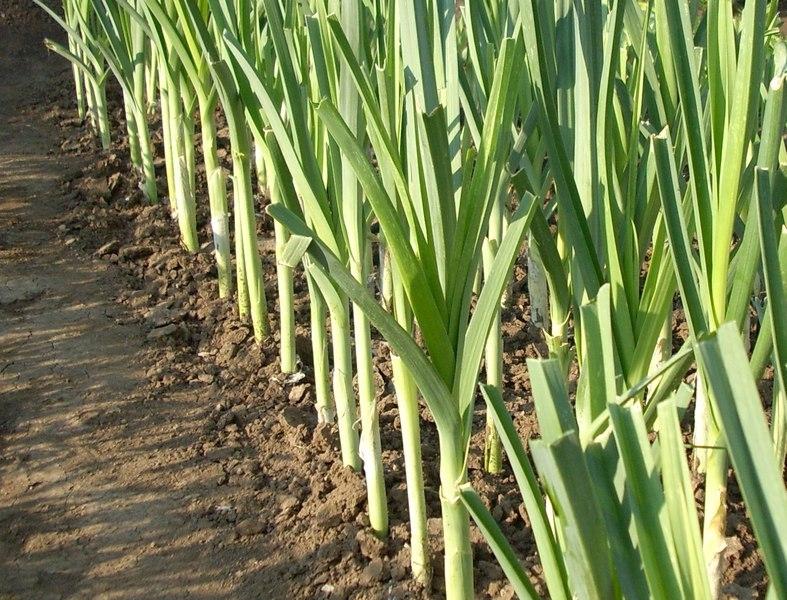 как вырастить лук порей на даче