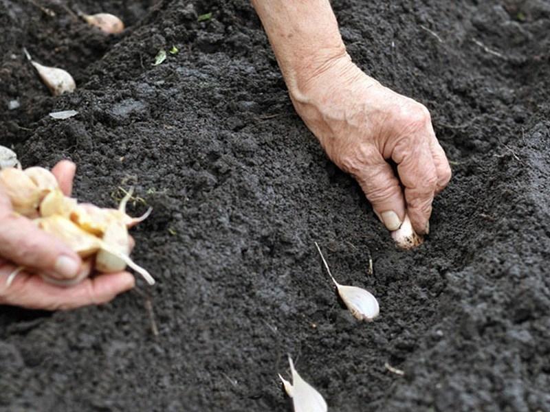 можно ли сажать чеснок весной