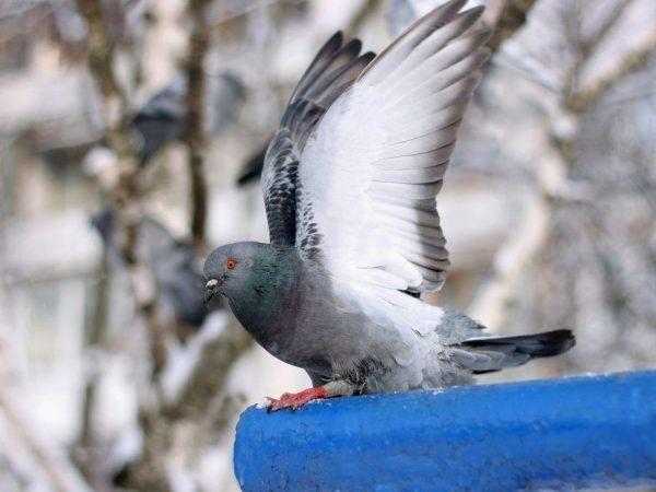 нифулин форте для голубей инструкция