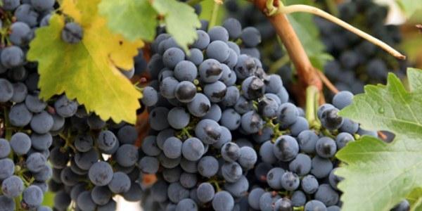 оидиум винограда фото и чем лечить