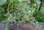 лечить оидиум на винограде