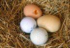 куры клюют яйца