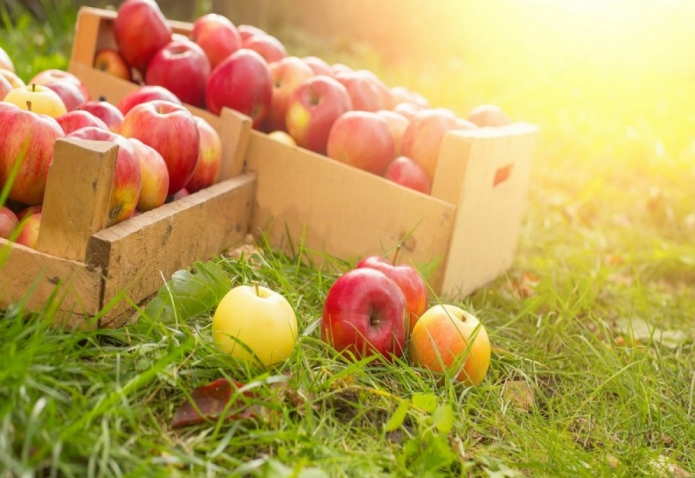 правильно хранить яблоки на зиму