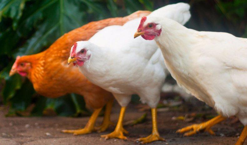 продажа куриных яиц как бизнес