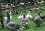 разведении гусей в домашних условиях