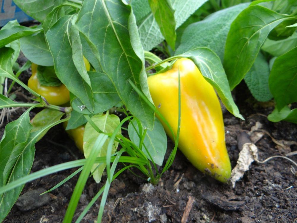 семена перца сладкого раннего толстостенного