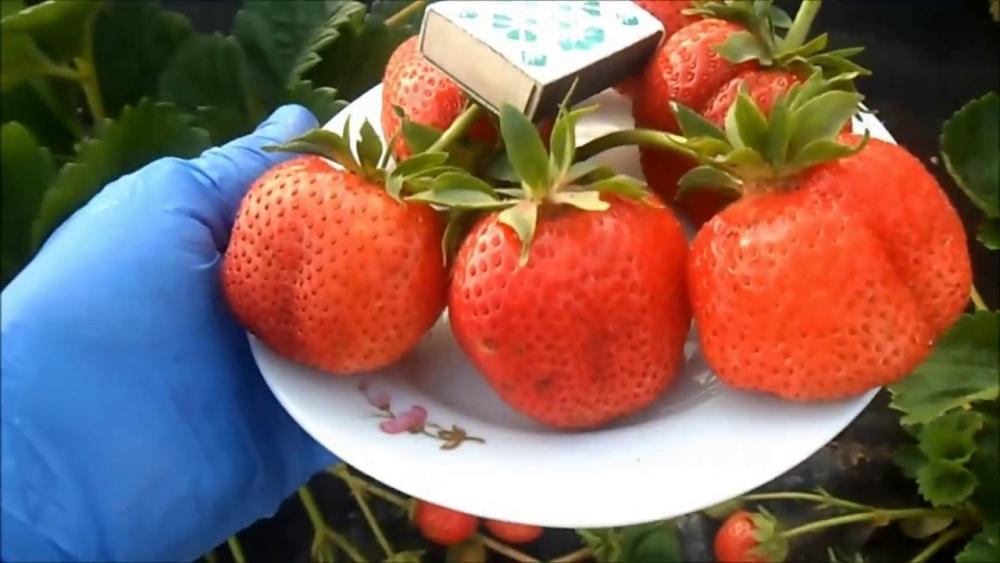земляника садовая крупноплодная сорта