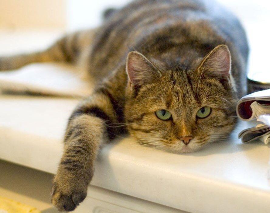 Домашний кот кошка cat