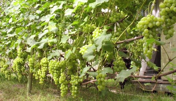 виноград лора описание сорта фото