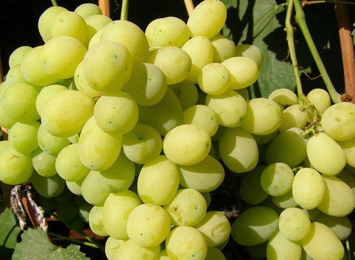 можно ли беременным виноград