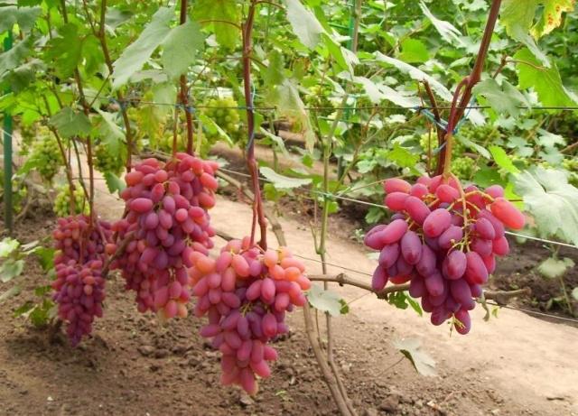 виноград юбилей новочеркасска описание сорта фото