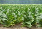 Выращивание табака для курения на огороде