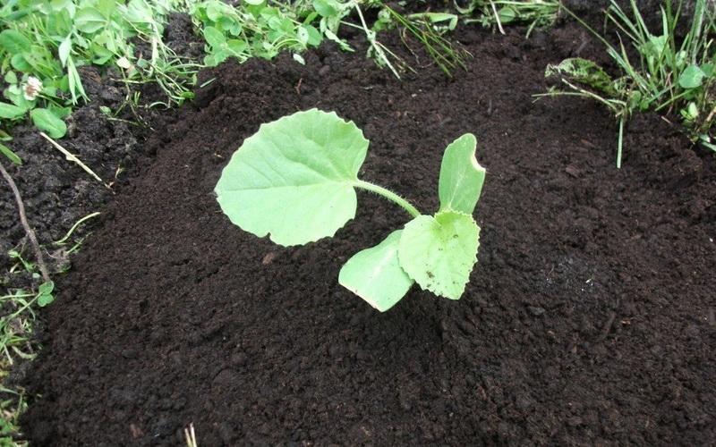как вырастить большую тыкву