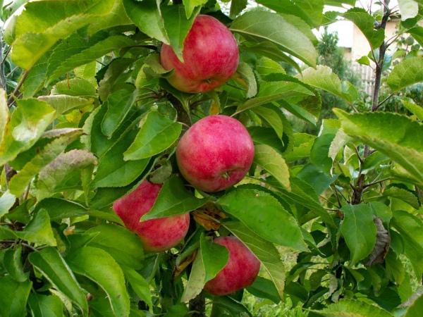 колоновидные яблони для сибири сорта
