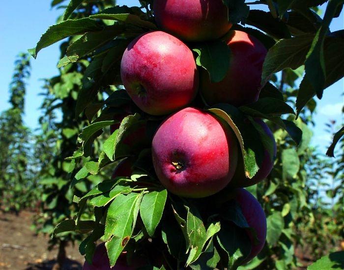 яблони колоновидные сорта для московской области