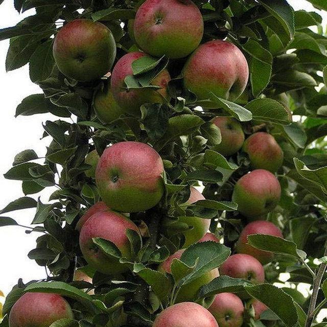яблоня коник