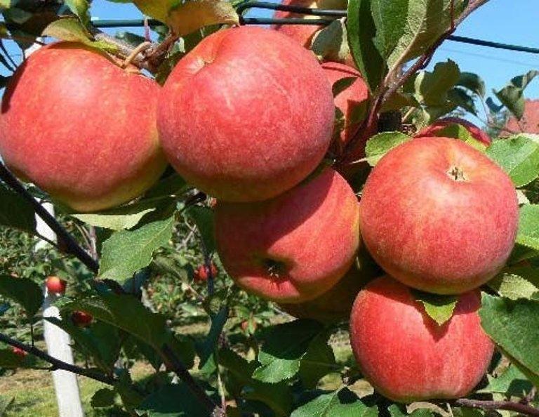 сорт яблок чемпион
