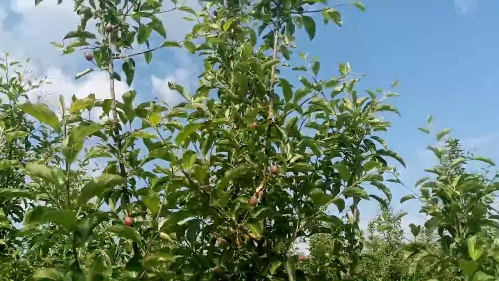 сорт яблок голден делишес